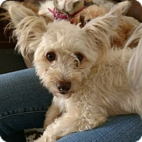 Chinese Crested/Havanese Mix Dog for adoption in San Diego, California - Casper
