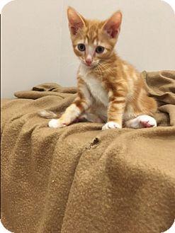 Domestic Shorthair Kitten for adoption in Mission Viejo, California - Simba