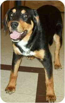 Rottweiler/Shepherd (Unknown Type) Mix Puppy for adoption in North Judson, Indiana - Mary