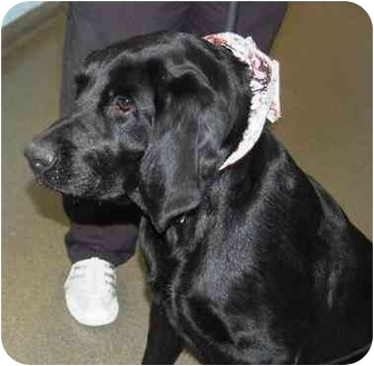 Labrador Retriever Mix Dog for adoption in kennebunkport, Maine - Jet-in Maine - UPDATE!