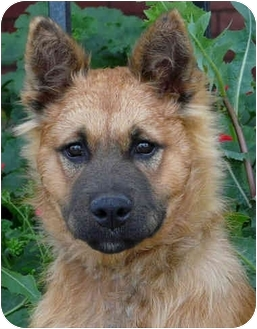 German Shepherd Dog/Golden Retriever Mix Puppy for adoption in Los Angeles, California - Dede von Dortmund