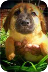 Shepherd (Unknown Type) Mix Puppy for adoption in Old Bridge, New Jersey - Atwater