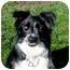 Photo 3 - Border Collie Dog for adoption in San Pedro, California - SOPHIE
