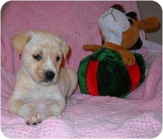 Labrador Retriever Mix Puppy for adoption in Salem, New Hampshire - Opal