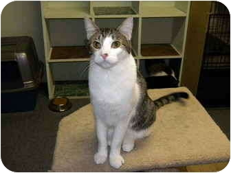 Domestic Shorthair Cat for adoption in Bartlett, Illinois - Mickey