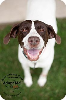 Pointer Dog for adoption in Hickory Creek, Texas - Katie