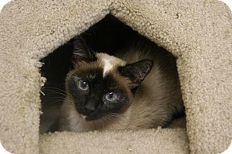 Siamese Cat for adoption in Memphis, Tennessee - Lola