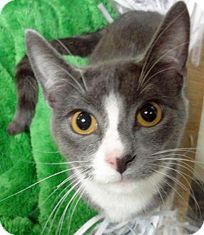 Domestic Shorthair Kitten for adoption in Mt. Prospect, Illinois - Ricky