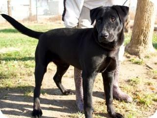 Labrador Retriever Mix Dog for adoption in Westminster, California - Remy