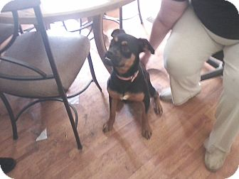 Boxer/Miniature Pinscher Mix Dog for adoption in Murfreesboro, Tennessee - Angel