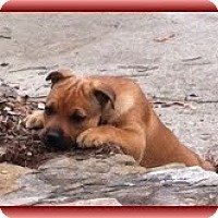 Adopt A Pet :: Ruby Red - Brattleboro, VT