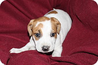 Boxer/Labrador Retriever Mix Puppy for adoption in Mesa, Arizona - PANDA 8 WEEK LAB BOXER MIX FEM