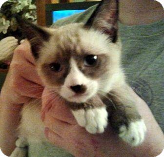 Snowshoe Kitten for adoption in Chandler, Arizona - Butch Cassidy