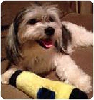 Shih Tzu Mix Dog for adoption in Beachwood, Ohio - Maxamillion