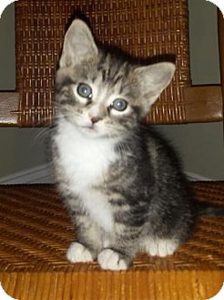 Domestic Shorthair Kitten for adoption in Columbia, South Carolina - Trouble