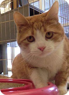 Domestic Shorthair Cat for adoption in Hillside, Illinois - Otis