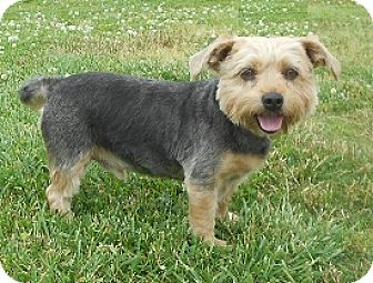 Silky Terrier/Yorkie, Yorkshire Terrier Mix Dog for adoption in Huntsville, Alabama - Simon