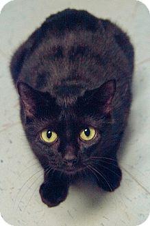 Domestic Shorthair Cat for adoption in Morgantown, West Virginia - Moonlight