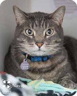Domestic Shorthair Cat for adoption in Merrifield, Virginia - Navajo