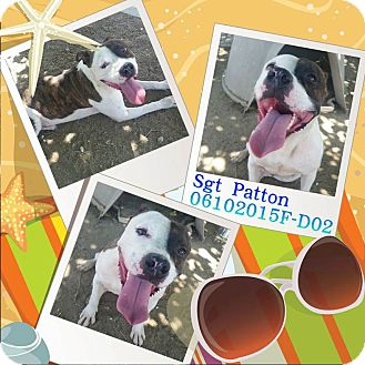 Pit Bull Terrier/Terrier (Unknown Type, Medium) Mix Dog for adoption in DELANO, California - SGT PATTON