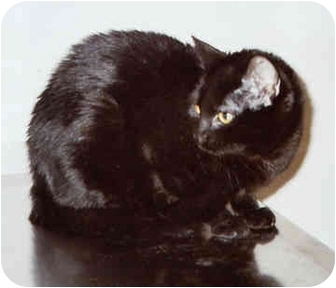 Domestic Shorthair Cat for adoption in Owatonna, Minnesota - Uno