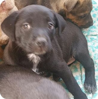 Labrador Retriever/American Pit Bull Terrier Mix Puppy for adoption in temecula, California - CAGNEY