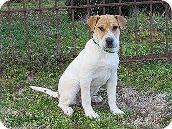 Shar Pei Mix Puppy for adoption in Newburgh, New York - DOTTIE