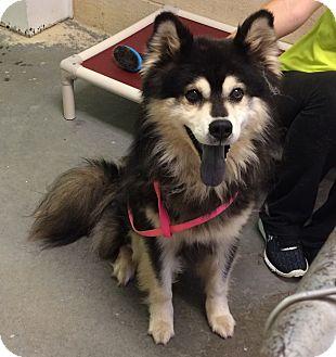 Husky/Chow Chow Mix Dog for adoption in Greensburg, Pennsylvania - Taz