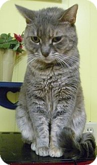Domestic Shorthair Cat for adoption in Hamburg, New York - Krumpet