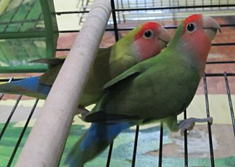 Lovebird for adoption in Edgerton, Wisconsin - Loco & Novia