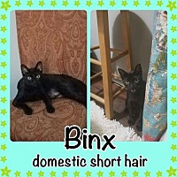 Oriental Cat for adoption in Bogalusa, Louisiana - Binx