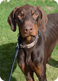 Doberman Pinscher Mix Puppy for adoption in Ogden, Utah - Anax