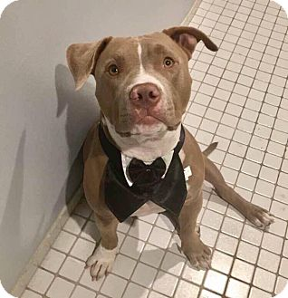 American Staffordshire Terrier Mix Dog for adoption in Los Angeles, California - Toby