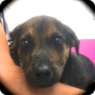Dutch Shepherd/Feist Mix Puppy for adoption in Ijamsville, Maryland - ScrappyDoo