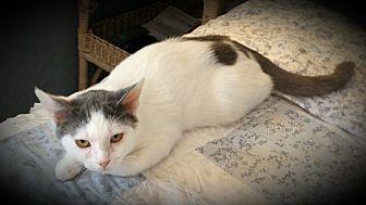 Domestic Shorthair Cat for adoption in Fairborn, Ohio - Rhine
