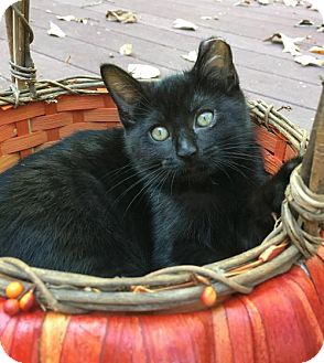 Domestic Shorthair Cat for adoption in Flint HIll, Virginia - Thor