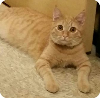 Domestic Shorthair Kitten for adoption in Brea, California - MOLLY