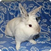 Adopt A Pet :: Sugarfoot - Chesterfield, MO