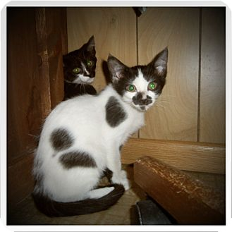 Domestic Shorthair Cat for adoption in Medford, Wisconsin - HARLOW