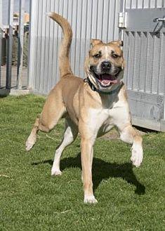 Boxer/Shepherd (Unknown Type) Mix Dog for adoption in Palm Springs, California - Gomez