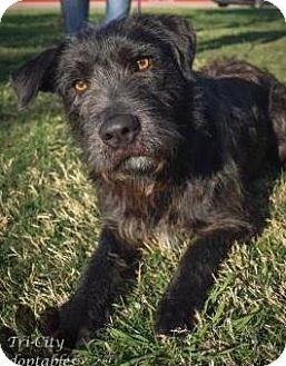 Schnauzer (Standard)/Wirehaired Fox Terrier Mix Dog for adoption in Dallas, Texas - Spike