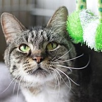 Domestic Shorthair/Domestic Shorthair Mix Cat for adoption in Kyle, Texas - JINX