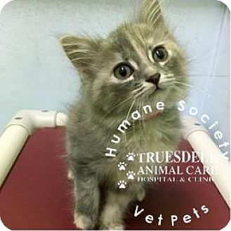 Domestic Shorthair Kitten for adoption in Janesville, Wisconsin - Feanor