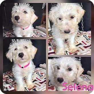 Schnauzer (Standard)/Terrier (Unknown Type, Small) Mix Puppy for adoption in Mesa, Arizona - SELENA