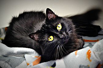 Domestic Shorthair Cat for adoption in Dunkirk, New York - Suzie