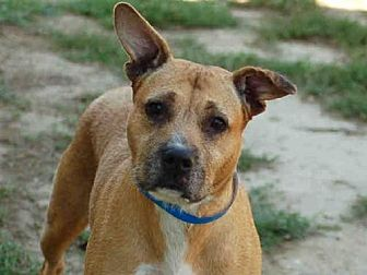 Pit Bull Terrier/Boxer Mix Dog for adoption in Los Angeles, California - BOXY BROWN