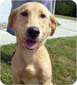Labrador Retriever Mix Puppy for adoption in Upper Marlboro, Maryland - CASEY