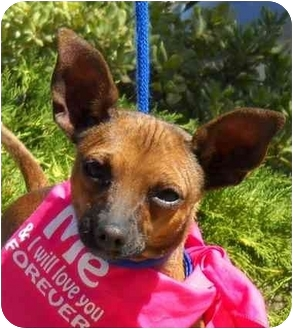 Chihuahua/Miniature Pinscher Mix Dog for adoption in Palmdale, California - Bell