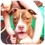 Photo 2 - American Staffordshire Terrier/Boxer Mix Dog for adoption in New York, New York - CocoPuff