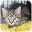 Photo 2 - Domestic Mediumhair Kitten for adoption in Colmar, Pennsylvania - Smurf